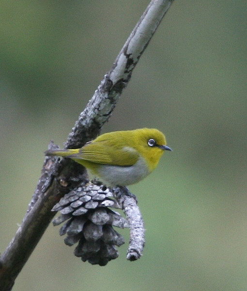 An Oriental White-eye poses nicely on a same-sized cone. (Photo by guide Dave Stejskal)
