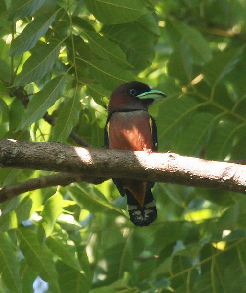 Broadbills are also a highlight, and this Banded Broadbill shows the characteristic namesake beak well. (Photo by guide Dave Stejskal)