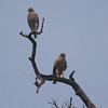 ...to this nicely posed pair of Rufous-winged Buzzards. Guide Phil Gregory captured all three images.