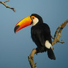 Here's an eye-catcher: this Toco Toucan, largest of them all, basks in the sun and preens. What a life! (Photo by guide Dan Lane)