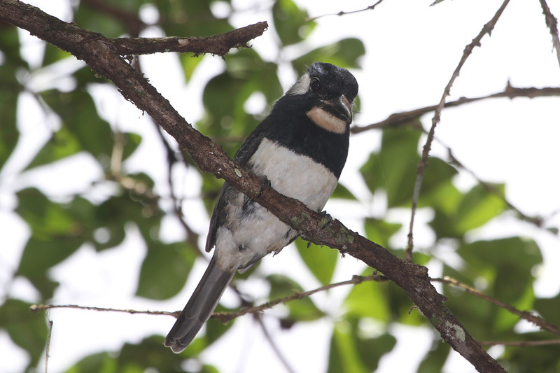 Puffbirds are cool, so it was fun to see four species on the tour, including this Black-breasted...