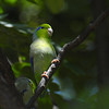 Participant Brian Stech returned from the tour with some fine images, including this one of a Pacific Parrotlet.