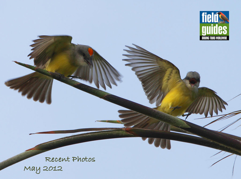 Spring means many things at Field Guides, including a bunch of Texas and Arizona tours. We launched the season with a bevy of tours, including our Spring in South Texas trip guided by Chris Benesh, who captured this image of an excited pair of Tropical Kingbirds along the way. Enjoy this month's varied destinations!