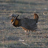 "The birds, however, are a bit different! It's grouse and ""chicken"" heaven in Colorado, and this Greater Prairie-Chicken was feeling his oats and putting on a strut. More than 20 males were present at this lek. (Photo by guide Chris Benesh)"