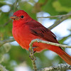 Participant Rich Frank was busy photographing as well as birding along the way. Summer Tanagers were plentiful migrants on both our tours this year, often at very close range.