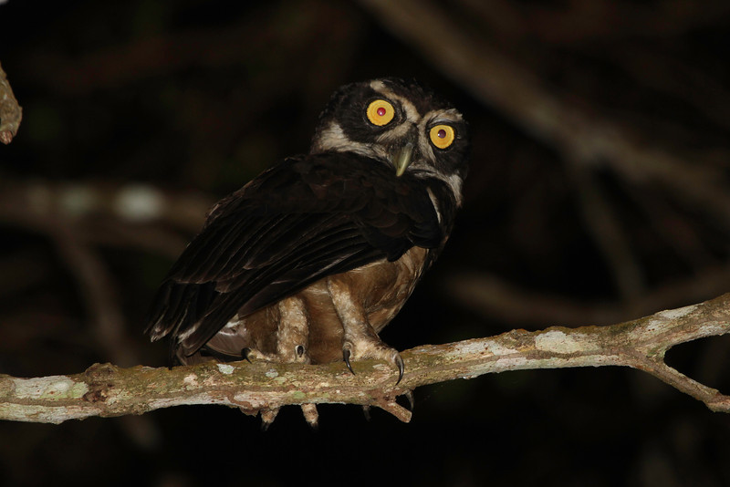 Now that's a baleful look! This Spectacled Owl was one of a pair seen along the Old Gamboa Road. (Photo by guide Chris Benesh)