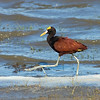 "Participants David and Susan Disher turned in a really nice series of images, beginning here with an exposure of those wonderfully large ""lily-trotter"" toes on a Northern Jacana at Crooked Tree Lagoon."