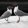 This pair of Laughing Gulls made for an elegant profile along the coast. (Photo by participant Rich Frank)