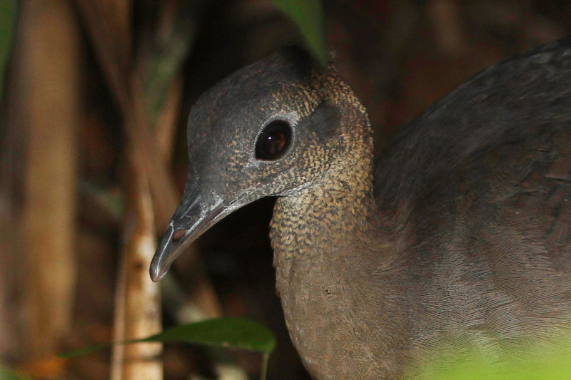 Tinamous are such strange, big-eyed birds, and seeing any one is always a treat, as was this Great Tinamou at the Discovery Center. (Photo by guide Chris Benesh)