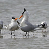 These courting Royal Terns made for a fine profile along the S Texas coast. (Photo by guide Chris Benesh)