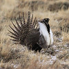 The fantastic Greater Sage-Grouse show at the big lek near Walden, with more than 50 birds present, made this species the easy winner for tour favorite! (Photo by guide Chris Benesh)