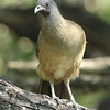 ...and the very vocal (if not very colorful!) Plain Chachalaca.