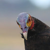 Our point-blank views of this vulture's multicolored head in the coastal rice fields begged the question: Just who thought of naming this the Lesser Yellow-headed Vulture? It's much more weirdly colorful than that! (Photo by guide Chris Benesh)