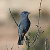 It's not all grouse and prairie-chickens and ptarmigan of course...there are lots of other great western birds to be enjoyed along the way, including Pinyon Jay and much more! (Photo by guide Chris Benesh)