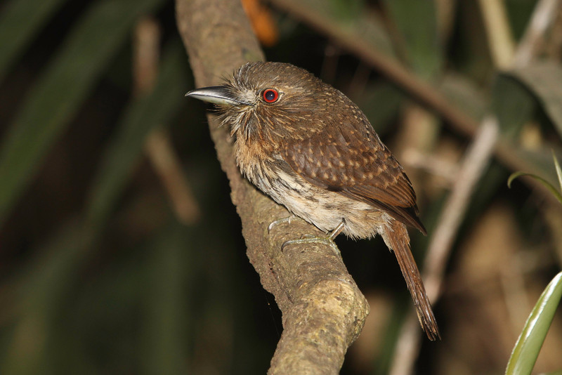 ...and this White-whiskered Puffbird, both photographed by guide Chris Benesh.