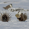 The Greater Sage-Grouse lek this year was particularly memorable thanks to sunlight reflecting off several inches of fresh powder. (Photo by guide Eric Hynes)