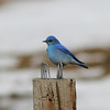 Simple can be beautiful: A solid argument can be made for male Mountain Bluebird as the most beautiful monochromatic species in North America! (Photo by guide Eric Hynes)