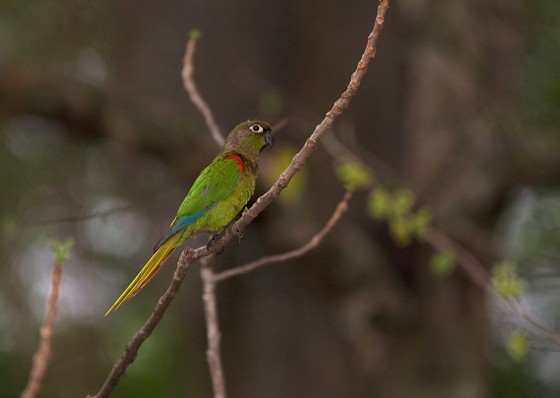 Where does the attractive Blaze-winged Parakeet occur? Its range is but a small dot on a map of South America, a very limited range in southwestern Brazil and adjacent Paraguay. We had lovely views again this trip. (Photo by guide Marcelo Padua)