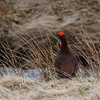 """Our Scotland tour, subtitled """"Famous Grouse in the Land of Whisky,"""" is named partly for the Red Grouse, a potential split from the widely distributed Willow Ptarmigan. This male put on quite a show, and his flashy eye comb seems to be glowing at the height of the breeding season. (Photo by participant Jim Rome)"""