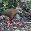 This Gray-necked Wood-Rail seems to be striking a pose for participant Merl Arnot.