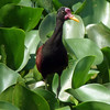 Wattled Jacana amidst the water hyacinth makes for another lovely image by participant Bill Byers.