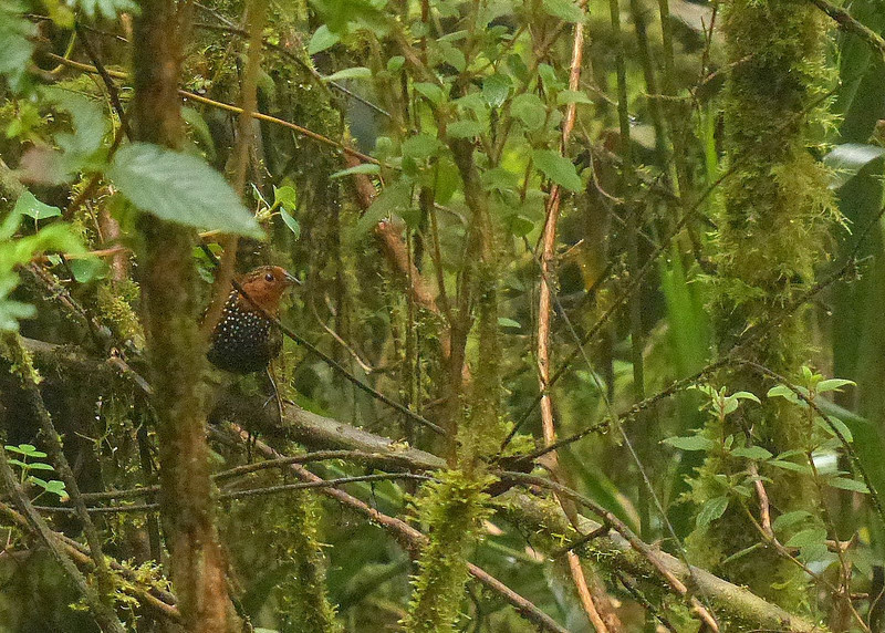 Participant Ranjit Laha caught this awe-inspiring Ocellated Tapaculo emerging from the lush understory.