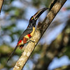Why fly up into a tree when you can walk? This Collared Aracari seems to be having no trouble scaling this trunk. Aracaris (and their toucan relatives in general) are significant nest predators...so one snooping around under the canopy is not a welcome sight for small birds! (Photo by participant Merl Arnot)