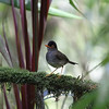 Slaty-backed Nightingale-Thrush is heard far more often than seen...it's a beautiful part of the forest chorus in the mid-elevation forest at sites such as Braulio Carillo and Santa Elena. (Photo by participant Merl Arnot)
