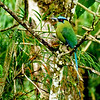 If not for that shock of blue on the head and tail, this Andean Motmot would disappear into the landscape. (Photo by participant Ranjit Laha)