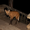 This rare Maned Wolf at Caraca, where the monks put out meat scraps every evening, is clearly habituated to people and looks more like a Red Fox on stilts than a true wolf. (Photo by guide Marcelo Padua)