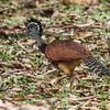No one's got anything on this magnificent  female Great Curassow when it comes to crests. Hooded Merganser, take a back seat! (Photo by participant Merl Arnot)