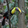 Larger cousins of the aracaris, Chestnut-mandibled Toucans are fairly common residents of lowland forest habitats in Costa Rica. (Photo by participant Merl Arnot)