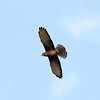 Participant John Drummond captured this image of a Grasshopper Buzzard soaring.