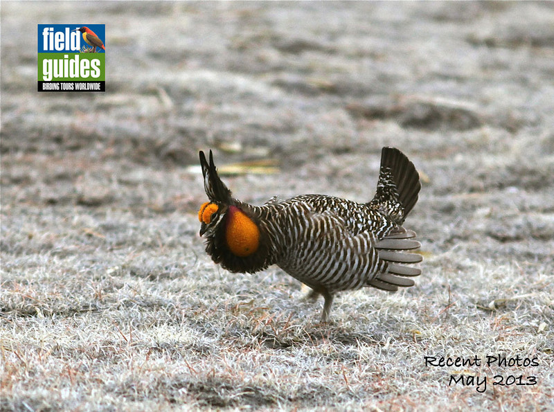 We begin our May recent photos gallery with the fabulous grouse of Colorado. Guide Eric Hynes caught this image of a male Greater Prairie-Chicken strutting his stuff at a lek. This month's pics also include images from Costa Rica, Trinidad & Tobago, Ecuador, Brazil, Scotland, Ghana, and the Philippines. Enjoy the viewing!