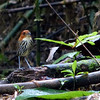 Just when we had almost given up, this Chestnut-crowned Antpitta made a fantastic appearance. (Photo by participant Ranjit Laha)