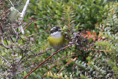 "Sooty-capped Chlorospingus was one of the many ""Chiriqui"" endemics we encountered in the highlands. (Photo by participant Chris DeCilio)"