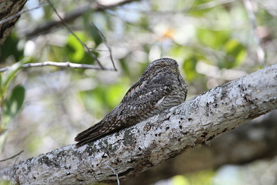 A bonus from the boat into Lamanai: a roosting Lesser Nighthawk. (Photo by participant Ron Pera)