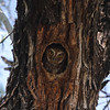 To see Elf Owl, on the other hand, you have to know the right address! (Photo by guide Chris Benesh)