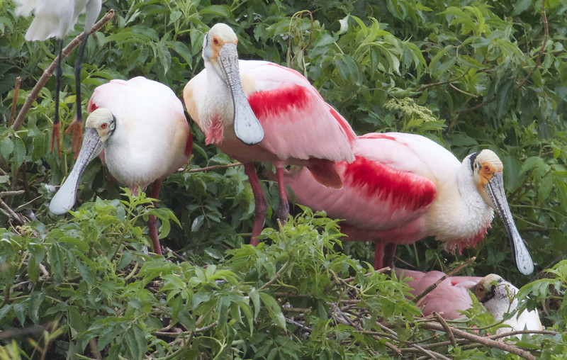 Roseate Spoonbills at the High Island rookery are always in peak plumage at this time of year. (Photo by participant Brooke A. Miller)