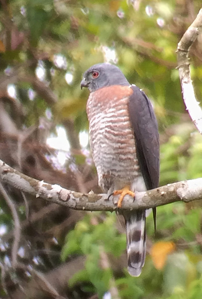 This Double-toothed Kite was another of the various raptors that allowed us some great scope views on this trip. (Photo by guide Peter Burke)