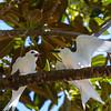 White (Fairy) Tern (Gygis alba)