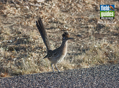 We've just finished a great run of spring tours, which of course included various Arizona and Texas depatures, so what better bird to begin with than this Greater Roadrunner by Arizona participant Howard Patterson? We hope you'll enjoy this month's gallery of nearly 100 fresh tour photos from Thailand to Ghana and Costa Rica to High Island!