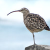 Hawaii's got to be the easiest place to see Bristle-thighed Curlew -- much easier than in Alaska! (Photo by guide Dan Lane)