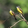 A pair of Lesser Kiskadees allowed for some careful inspection. Note especially the finer bill to distinguish it from the Great Kiskadee, which reaches all the way to S Texas, while Lessers are only from E Panama southward. (Photo by guide Chris Benesh)