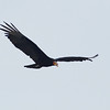This adult Lesser Yellow-headed Vulture soaring low along Butler Creek showed us its unusual head coloration perfectly! (Photo by guide Peter Burke)