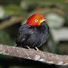 Put a bit of flash on a Red-capped Manakin, and it fairly glows! (Photo by guide Chris Benesh)
