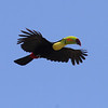 Beautiful, ridiculous, graceful, and ungainly...somehow all in one bird: Keel-billed Toucan. (Photo by participant Ron Pera)