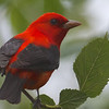 Participant Brooke Miller brought home some great images from one of our tours, including this striking Scarlet Tanager on High Island.