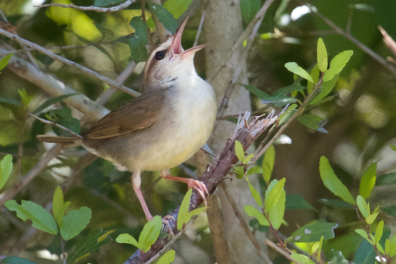 Swainson's Warbler, by contrast, is about as plain as they get, but considering how many birders want to see it, it's always a great prize! (Photo by participant Brooke A. Miller)