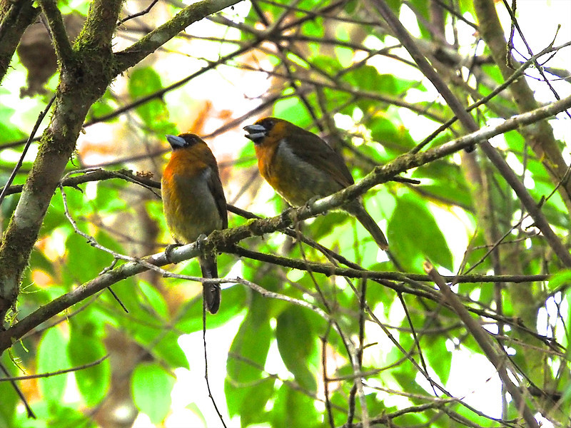 Prong-billed Barbets are always in pairs and inveterate duetters. (Photo by participant Marshall Dahl)